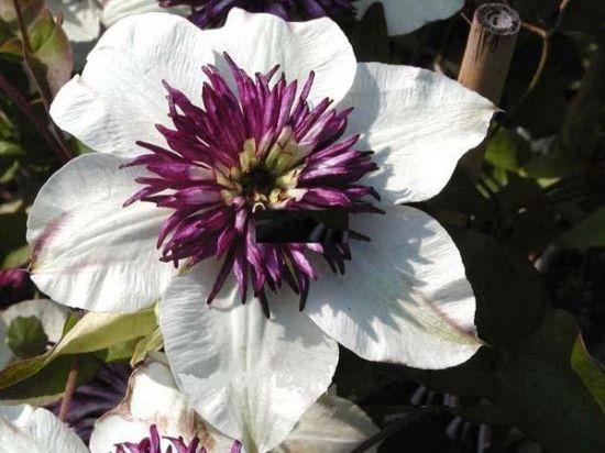 Клематис цветистый Зибольда (florida sieboldii)